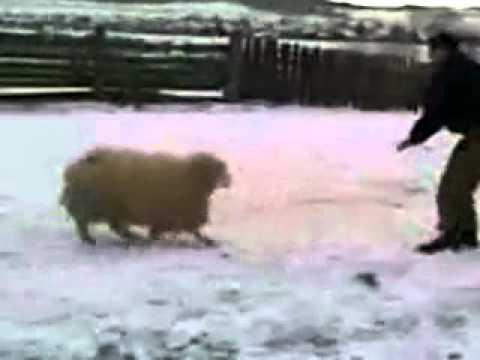 ロシアの酔っ払いに羊が鉄拳制裁