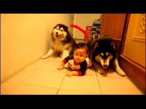 赤ちゃんとシベリアンハスキーのコラボ ハイハイ。すくすく育てよ!