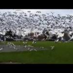いったい何羽いるの!? ガチョウの大群が津波になって襲ってきた