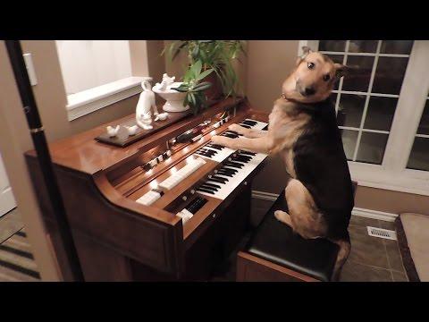 コレは天才、ピアノを気持ちよく弾くワンコ