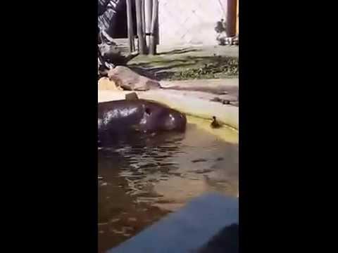 プールから上がれないアヒルの赤ちゃんをカバが救出!!