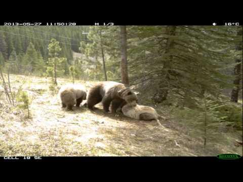 これはワロタw グルーブ感が半端ないクマが発見される