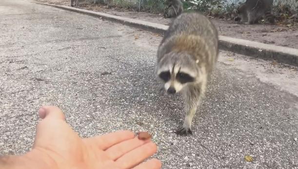 野生のアライグマにエサをあげたら指をガッツリ噛まれた件!!