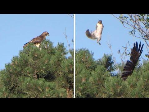 鷹に狙われたリスが絶体絶命・・・ かと思いきや超絶脱出w