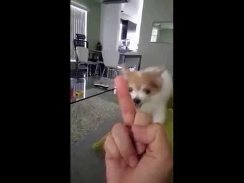 中指を立てるとメッチャ怒るチワワw