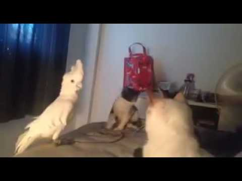 自分がネコだと思っているオウムがカワイイ