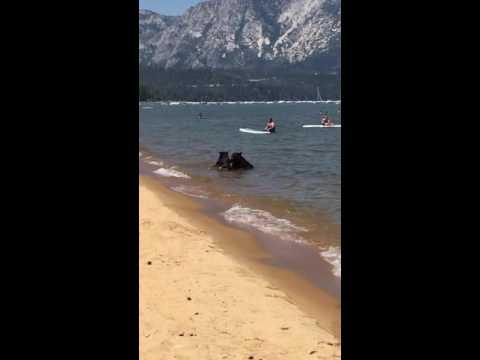 クマの人間化が止まらないw タホ湖で楽しむ親子