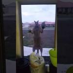 カンガルーが仲間にして欲しそうに窓を叩いている