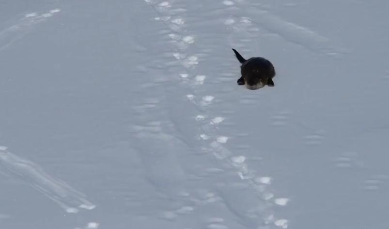 カワウソ君、雪でスライディングして遊ぶ
