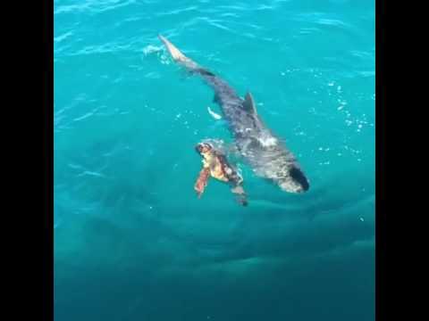 サメに襲われるウミガメ、絶体絶命と思いきや・・・