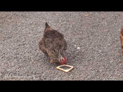 新しい食パンの食べ方を発見してしまったニワトリ