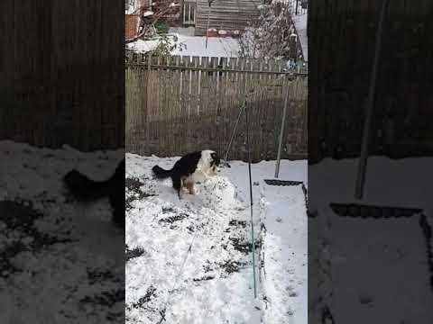 雪だるまを作ろうとしているワンコが撮影される