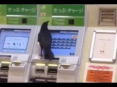 カラスが進化!切符を買うためにクレジットカードを借りる(強引にw