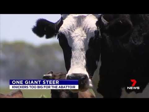 オーストラリアの超巨大牛がヤバいw