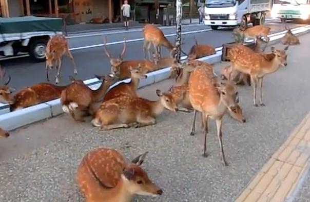 衝撃の光景に外国人びっくり。奈良公園の鹿たちが車道にまで出てくつろいでいる。