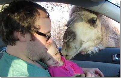 幼女笑いすぎw ラクダとのほのぼの動画