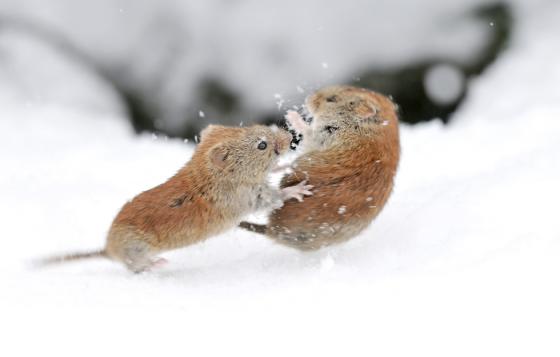 snow_animal_11