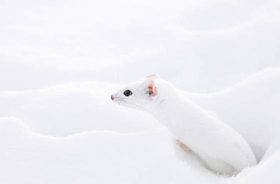 snow_animal_6