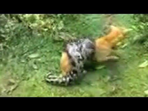 ワンコ、大蛇に完全ホールドされ絶体絶命・・・
