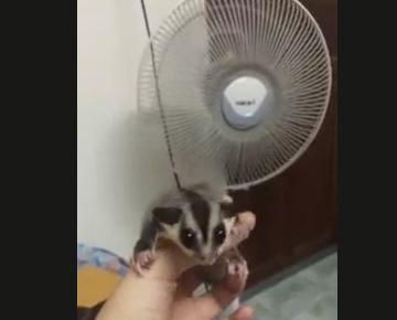 ムササビの赤ちゃん「飛ぶ練習してみたよ」