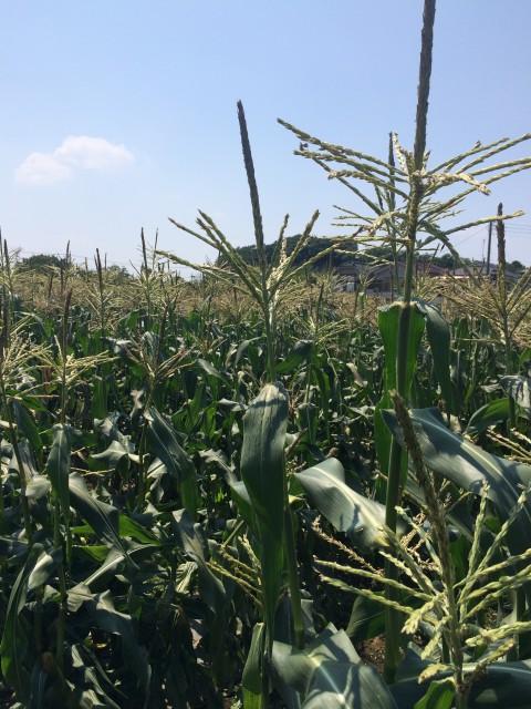 [雑記] 梅雨の切れ間にトウモロコシ収穫!
