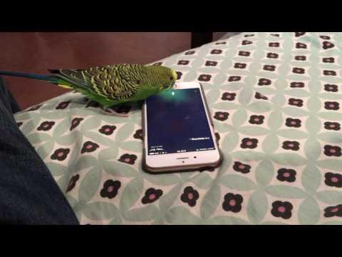インコが「Hey Siri!」 いい発音でSiriを起動する事に成功
