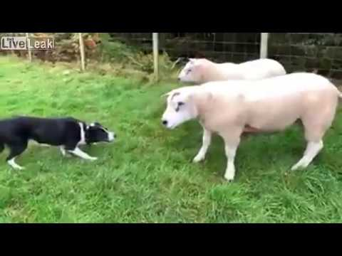 怒れる羊に立ち向かう牧羊犬、仕事を全うする