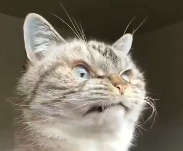 見得を切る 歌舞伎猫